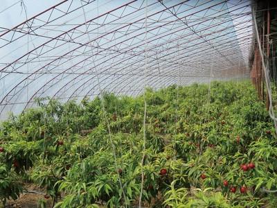 Fruit trees greenhouse